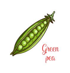 green pea vegetable sketch of fresh legume vector image