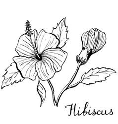Hibiscus flower botany vector