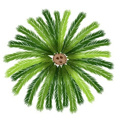 A sago palm tree vector