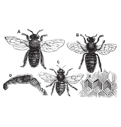 Bee vintage engraving vector