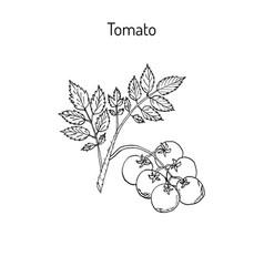 fresh tomato branch vector image