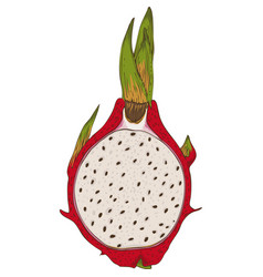 dragon fruit or pitaya in cross section vector image