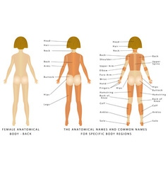 Female body Back vector image