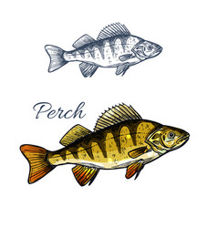 Perch fish isolated sketch of freshwater predator vector