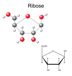 Structural chemical formula and model of ribose vector