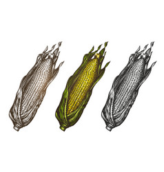 Hand drawn corn food sketch vector