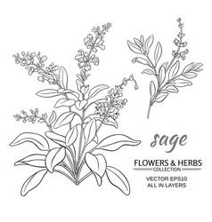 sage vector image vector image