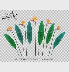 Strelitzia reginae flower vector