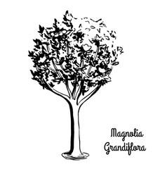 sketch magnolia vector image vector image