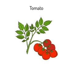 Fresh tomato branch vector
