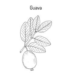 Yellow guava psidium guajava tropical fruit vector