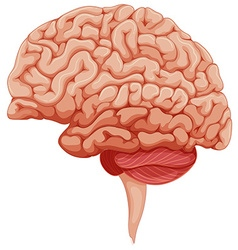 Human brain on the side vector image vector image