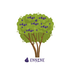 Fig or engine garden fruit tree with name vector