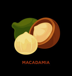 macadamia nut isolated on white vector image