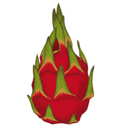 whole dragon fruit or pitaya vector image vector image