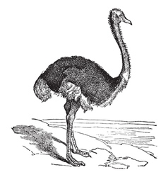 The ostrich vector