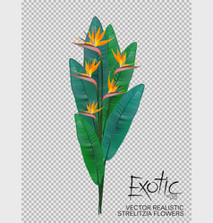 Bird of paradise flowers on transparent background vector