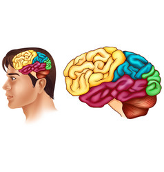 diagram showing different parts of human brain vector image