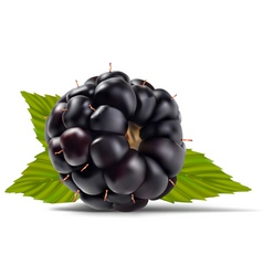 dewberries blackberries vector image