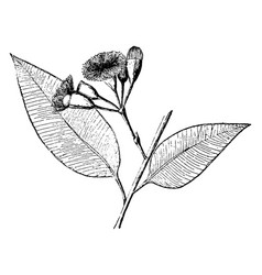 Eucalyptus ficifolia vintage vector