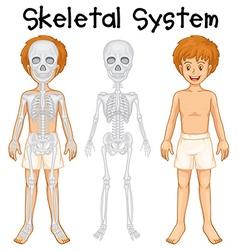 Skeletal system in human boy vector