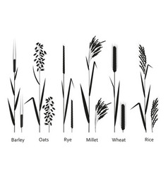 Cereals plants set vector
