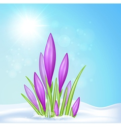 Violet crocus in snow vector