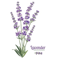 Lavender flowers elements botanical vector