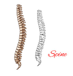 Sketch icon of human spine bones or joints vector