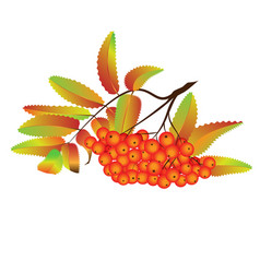 autumn rowan berries vector image vector image