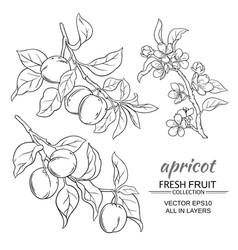 apricot set vector image