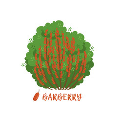 Barberry garden berry bush with name vector