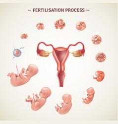 Human fertilization process poster vector