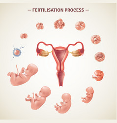 Human fertilization process poster vector