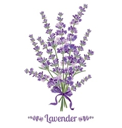Beautiful bouquet of lavender flowers botanical vector