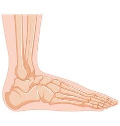 Inside of human foot bone vector image