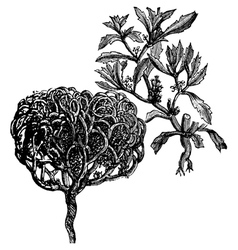 Tumbleweed vintage engraving vector