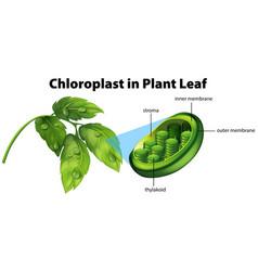 diagram showing chloroplast in plant leaf vector image