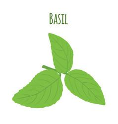 green basil leaves vegetarian herbal condiment vector image