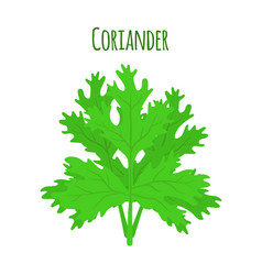 Coriander herb chinese parsley vector
