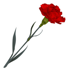 Red carnation flower isolated on white background vector