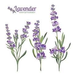 Lavender flowers elements botanical vector