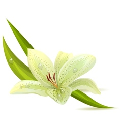 white lily isolated vector image