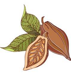 cocoa beans vector image