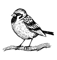 Sparrow bird engraving vector