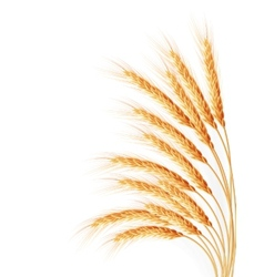 Wheat ears isolated on the white background vector image vector image