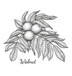 ink sketch of walnut branch vector image vector image