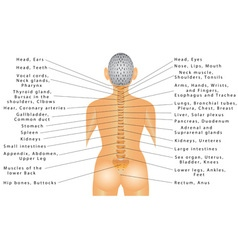 Spine and all organs vector