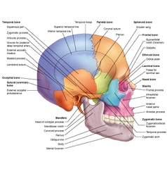 Skull lateral view vector
