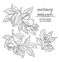 nutmeg set vector image vector image